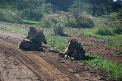 Photography of Three Zebras Lying Down Stock Images
