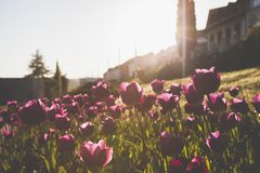 Photography of Tulips Royalty Free Stock Photos