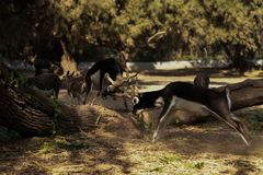Photography of Two Fighting Impalas Royalty Free Stock Photography