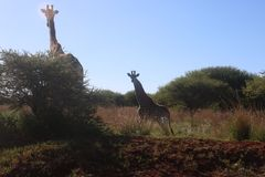 Photography of Two Giraffes Near Green Tree Royalty Free Stock Image