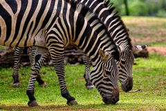 Photography of Two Zebra Eating Grass Stock Photo