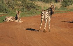 Photography of Two Zebras on Road Royalty Free Stock Images
