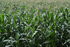 Vast green corn field. Photography of a a vast green corn field. The photography has been taken in July stock photos