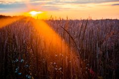 Photography of Wheat Stock Images