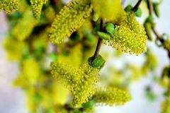 Photography, willow, spring, yellowish royalty free stock image