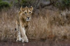 Photography of Young Lion stock image