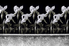 Photomontage da parede horizontal com os lírios no monochrome Fotografia de Stock Royalty Free