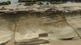 Photomontage de un pescado grande de la fantasía fósil en las capas que forman en una piedra fotografía de archivo