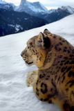 Photomontage of a snow leopard Stock Photos