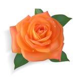 Photorealistic роза апельсина иллюстрация вектора