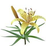 Photorealistic Illustration der gelben Tigerlilie lokalisiert auf weißem Hintergrund Stockbild