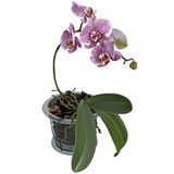 Photorealistic illustration of phalaenopsis at flower pot Royalty Free Stock Photos