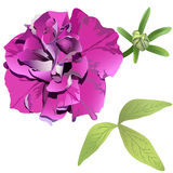 Photorealistic purple petunia. Isolated on white background with leaves and bud Royalty Free Stock Photos