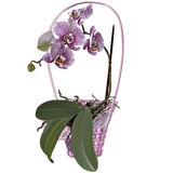 Photorealistic wicker floral basket with orchid. Branch of lilac spotted flowers, leaves and roots Stock Image