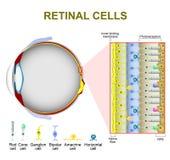 Photoreceptor cellen in de retina van het oog royalty-vrije illustratie