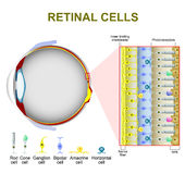 Photoreceptor cells in the retina of the eye. Retinal cells. rod cell and cone cell. The arrangement of retinal cells is shown in a cross section royalty free illustration