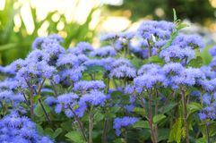 Ageratum beautiful flowers in the flowerbed royalty free stock image