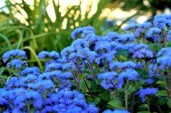 Ageratum beautiful flowers in the flowerbed stock images