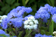 Ageratum beautiful flowers in the flowerbed stock image