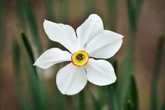 Photos with a beautiful, gentle and lonely flower of a white narcissus jonquilla, jonquil, rush daffodil. Is a bulbous flowering plant in a garden royalty free stock photos