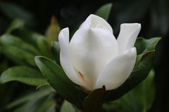 Photos of beautiful white magnolia flowers royalty free stock image