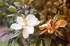 Photos of beautiful white magnolia flowers royalty free stock photo