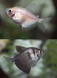 Photos of Both the Black Widow and White Tetra Royalty Free Stock Image