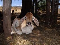Calf Cow in Brazilian Farm royalty free stock photo