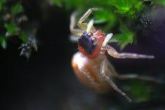 Photos détaillées des araignées image libre de droits