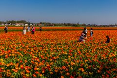 Photos de fabrication de touristes dans les domaines de tulipe dans le Bollenstreek photos stock