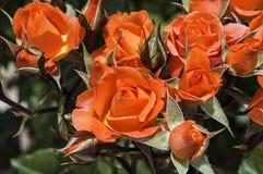 Photos de Rose, roses colorées, roses oranges dans le jardin Image libre de droits