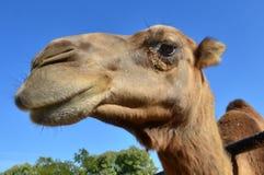Photos de Wildlfe - chameau Image stock