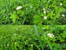 Set of four backgrounds of flowering wild strawberry in spring and summer Stock Photo