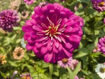 Purple zinnia in a blurred background stock photography