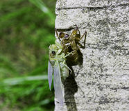Photos of insects moulting on rocks Stock Photo