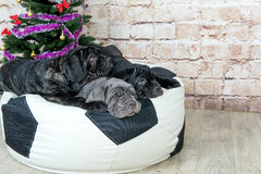 Photos Mastino breed dogs Neapolitana have a Christmas tree. Royalty Free Stock Image