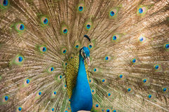 Photos of peacocks showing beautiful feathers. Royalty Free Stock Images