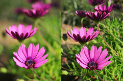 Photos of purple flowers shot with different apertures Royalty Free Stock Photo