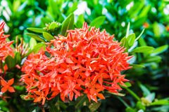 Photos red Ixora flowers Stock Images