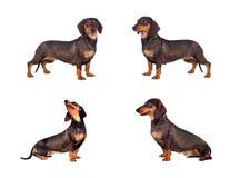 Photos sequence of dog teckel Stock Photography