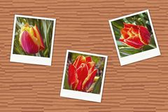 Photos with tulips Royalty Free Stock Images