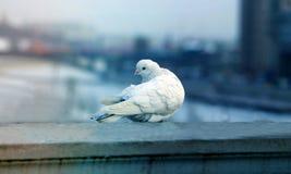 Photos white dove. Close to the city Stock Photos