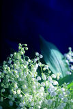 Photos White lilies Royalty Free Stock Image