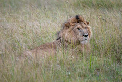 Photos wild lion lying in the grass of the African savanna, photographed in Kenya Stock Image