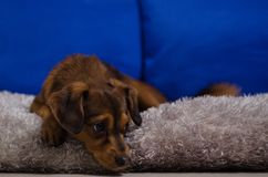 Small brown dog in home Royalty Free Stock Photo