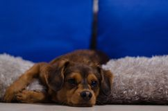 Small brown dog in home Stock Photo