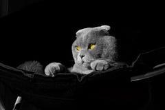 Photoshoot scottish fold cat Stock Image