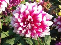 Dhalia dalia flowers photo images royalty free stock image