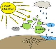 Photosynthèse. Image libre de droits