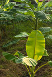 Photosynthèse de feuille de banane Image stock